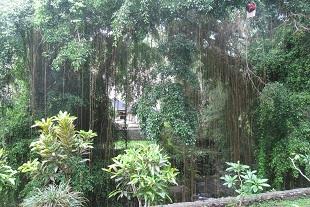 神聖なバニアンツリー